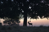 Fallow deer (Dama dama) buck in autumn, in the magnificent 700-acre deer park at Petworth House, West Sussex
