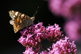 Painted Lady butterfly (Vanessa cardui) feeding on Red valerian (Centranthus ruber) at Trelissick Garden, Cornwall, in June