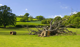 Fallen tree on the Brockhampton Estate in Worcestershire