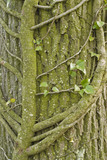 Close view of creeper and tree trunk in the grounds at Lyveden New Bield, Peterborough, Northamptonshire