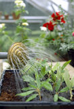Close up of a staff gardener watering cuttings in The Glasshouse at Westbury Court