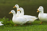 White ducks at Lyveden New Bield, Peterborough, Northamptonshire