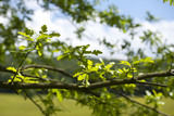 Oak leaves and branch in Parkfields at Gibside, Newcastle upon Tyne