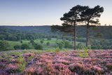 Scots Pine trees and heather at the Devil's Punch Bowl, Hindhead, Surrey