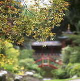 Backlit leaves of Japanese Maple (Acer), in China, a section of Biddulph Grange Gardens, with, out of focus, China Temple, in the background