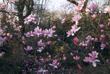 Close up of Magnolia cambelli in the woodland around Antony House
