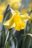 Close-up of the bright yellow trumpet of a Daffodil (Narcissus Goldsithney) at Trelissick Garden