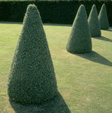 A line of box topiary cones standing sentinel at Westbury Court Garden, Gloucestershire