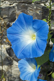 Glorious blue flowers of Convolvulus tricolor (Ipomoea) at Greys Court, Henley-on-Thames, Oxfordshire