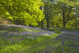 Bluebells carpeting the ground in Newton Wood below Roseberry Topping, Yorkshire