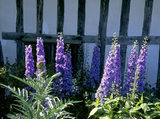 Delphiniums in front of the timber framing of Alfriston Clergy House in East Sussex