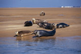 A group of seals on a beach at Blakeney Point