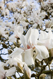 "Magnolia cylindrica ""Albatross"" in flower in spring in the garden at Lanydrock, Cornwall"