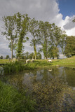 Sheep grazing alongside the Water Garden at Lyveden New Bield, Peterborough, Northamptonshire