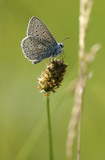 Common blue butterfly {Polyommatus icarus}, Collard Hill, Somerset