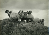 Group of Rams, Galloway
