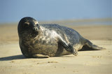 A close up of a seal on a beach at Blakeney Point