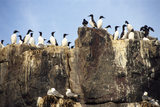 Guillemot's on a cliff top on the Farne Islands