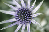 Close-up of Eryngium bourgatii in the garden at Hinton Ampner in June