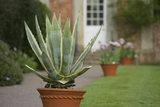 An Agave americana in a pot at the head of the T-Canal at Westbury Court Garden, Gloucestershire, UK