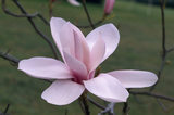 Detail of a Magnolia 'Anne Rose' in the garden at Nymans