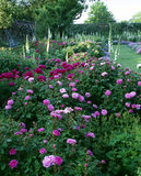 Fantastic rose border  with Rosa 'Pelisson', 'De Rischt', 'Compte de Chambord', and white and red Paeonies of garden origin, June