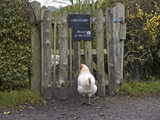 Hen in the Apprentice House garden at Quarry Bank Mill, Styal