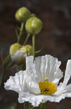 Close view of Romneya coulteri, Californian poppy, in the garden at Sizergh Castle, Cumbria, in July