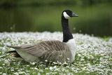 A Canada Goose sitting amongst daisies on the lawn by the Turf Bridge at Stourhead, Wiltshire, UK