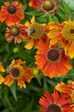Helenium flowers in the Herbaceous Garden in July at Anglesey Abbey