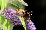 Red admiral butterfly (Vanessa atalanta) and Painted lady (Cynthia/Vanessa cardui)