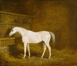 A Grey Racehorse in a Stable