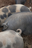 Gloucester Old Spot piglets at Broadclyst Community Farm, Killerton, Devon.
