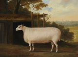 A Prize Sheep by a Shelte