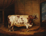 A Prize Shorthorn Ox
