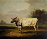 A Prize Grey Shorthorn Bull
