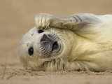 Grey seal pup on the beach at Blakeney National Nature Reserve, Ian Ward