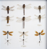 Collection of Dragonflies Originally from Penrhyn Castle, John Hammond