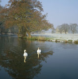 View looking across River Wey with two swans on a frosty day, with the ruins of Newark Priory in distance across a meadow (Not a National Trust Property)