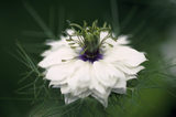 Nigella Damascena (Love in a Mist), The Courts Garden, Stephen Robson