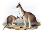 "Macropus fuliginosus, Western grey kangaroo, illustration from 'Mammals of Australia"" by John Gould, (London, 1845 - 1863) at Calke Abbey"