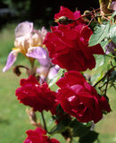 A close up detail of bright red roses in the garden at Monk's House, against a backdrop of green grass and other flowers out of focus