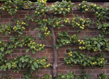Horizontal view of green apples in Westbury Court Garden
