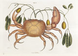 Land Crab (Plate 32), Mark Catesby, The Natural History of Carolina (London, 1754) The Library, Blickling Hall