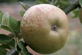 "An ""Ashmead's Kernel"" apple at Berrington Hall orchard"