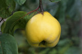 A quince apple at Berrington Hall in September