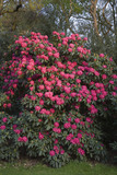 Rhododendrons in the garden at Dunham Massey, Cheshire