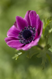 "Anemone ""De Caen"" in the Kitchen Garden at Ham House, Richmond-upon-Thames"