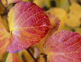 Autumn colour  in the leaf of Fothergilla monticola in Sheffield Park, East Sussex