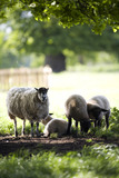 Sheep in the grounds at Hanbury Hall, Worcestershire